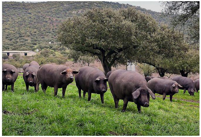 porc bellota